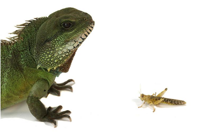 Lizard v grasshopper